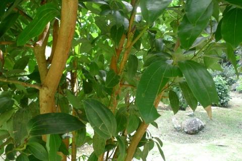 Cannelle au Jardin du Roi - Seychelles