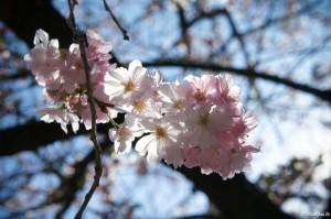 sakura fleur