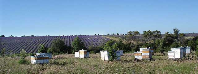 alliance-abeilles-lavande