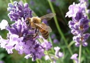 lavande-abeille