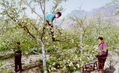Pollinisation Sichuan