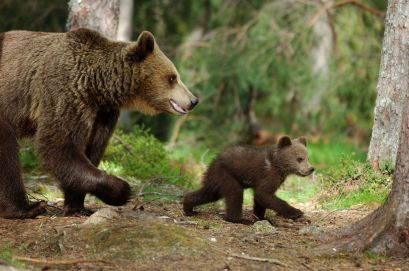Femelle ours et ourson marchant $$ Bear femelle and his young walk