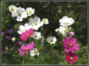 galerie-membre-fleur-cosmos-fleur-0132