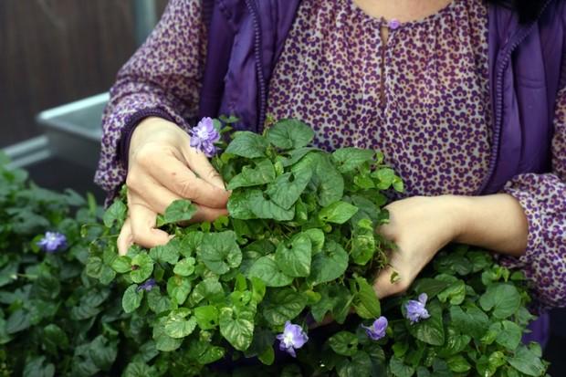 Helene-Vie-creatrice-du-Jardin-d-Elen-une-societe-dediee-a-la-violette-a-Toulouse-le-23-decembre-2015_afp-article