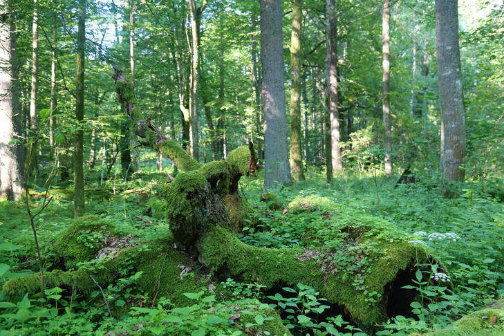 Arbres-decomposition-national-Bialowieza_0_729_486.jpg