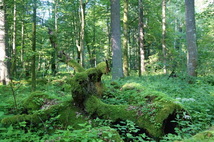 Arbres-decomposition-national-Bialowieza_0_729_486.jpg