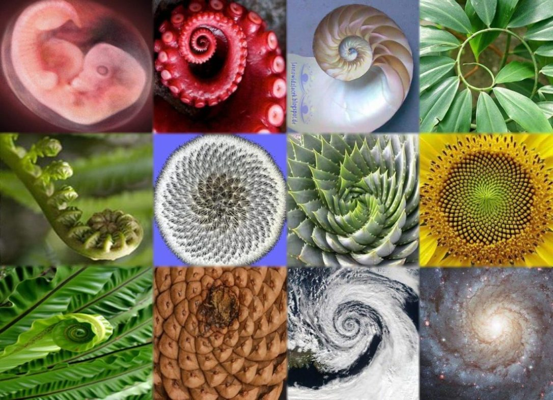 fibonacci-spirals-in_nature-e1511465359741.jpg